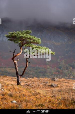 Au-dessus de l'arbre de pin sylvestre Loch Maree soutenu par Slioch, Wester Ross, les Highlands écossais, UK Banque D'Images