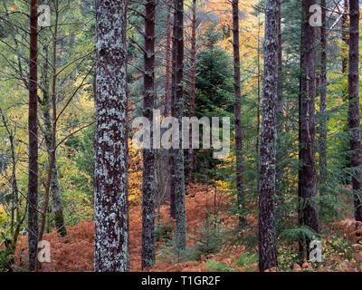 Couleurs d'automne dans Lael Forêt, Près de l'Ullapool, Ross et Cromarty, Highlands, Écosse, Royaume-Uni Banque D'Images
