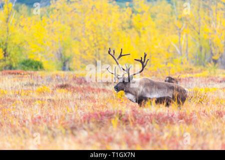Un renne sur le fond de l'thon rouge en été Banque D'Images