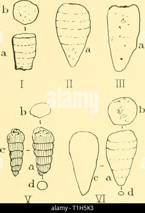 Rapports de découverte (1929) rapports de découverte discoveryreports131936inst Année: 1929 FOSSILES 13 Co7ich4sion provisoire une remarque peut-être émit. La forme dragué dans la mer de Weddell, semble appartenir à un groupe de genres, dont certaines n'est pas parfaitement connue, qui sont caractéristiques des roches du Paléozoïque, un âge carbonifère et Permien. Si la vue ci-dessus est correcte, elle rappelle la conclusion intéressante que les strates d'âge similaire doit rocheux à proximité. L'affleurement est peut-être sur le fond de la mer, mais comme les deux stations sont à peu de distance de la côte antarctique-line Banque D'Images