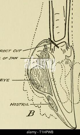 Les maladies des oiseaux domestiques (1920) Maladies des oiseaux domestiques diseasesofdomest00ward Année: 1920 coffJi£ct ct/r GROO/e /// OEIL. eNO de BEAK Fig. 66. Mâchoire inférieure enlevée, montrant la position des veines, de l'anatomie du crâne, et l'emplacement de la coupe. (Pennington et Betts) est de couper les veines est montré dans Fig. 66 d'être sur le côté gauche de la tête de poulet quand dans la position décrite ci-dessus. Parce que le vaisseau sanguin court reliant les deux veines depuis longtemps, que nous avons appelé le pont ',' ne s'exécute pas directement mais à un angle, le point le plus éloigné vient juste de l'avant et le plus facilement accessible Banque D'Images