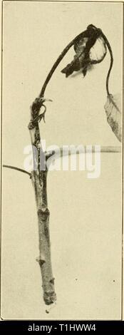 Les maladies des plantes d'importance économique (1921) Maladies de plantes d'importance économique diseasesofeconom01stev Année: 1921 Arbres et bois 403 Le champignon causal a été rapporté en Amérique du Nord, du Kansas, du Missouri, New York et New Jersey. SYCAMORE (Gnomonia veneta (S. & S.) Kleb.. Gloeosporium). - En 1848, ce l'anthracnose est très largement distribués sur chêne et sycomore, du New Jersey à la Californie et du Mississippi. Dans des cas extrêmes, il peut l'affaiblissent les arbres, au point d'entraîner leur mort. L'apparence brûlée des feuilles et de la défoliation des arbres rendent inesthétiques. Juste avant qu'ils deviennent des gro Banque D'Images