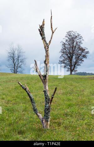 Vieil arbre sec fait tronçon en herbe verte. Paysage d'automne tranquille. Torse de bois impressionnants dépouillé de l'écorce couverte de mousse. Ciel bleu sous la pelouse. Banque D'Images
