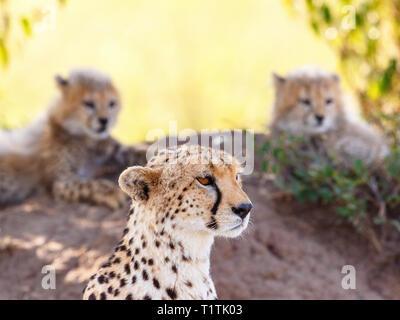 Guépard avec ses petits à l'arrière-plan la garde Banque D'Images