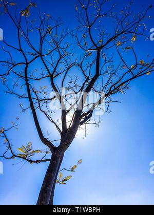 Low angle view à nu jusqu'à silhouette d'arbre ramifié par Sun en contre-jour sur fond de ciel bleu au Guatemala, Amérique Centrale Banque D'Images