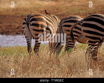 Vue arrière de 3 plaines ou zèbres de Burchell (Equus quagga) au point d'un pâturage à l'Est de Tsavo NP, Kenya, - une avec un guêpier carmin et pas de queue Banque D'Images