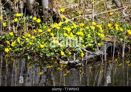 Caltha palustris populage des marais par un flux croissant au printemps