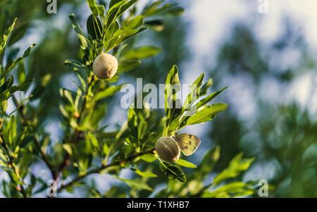 De plus en plus jeunes amandes fraîches sur une branche de l'arbre hâtif dans le soleil avec ciel bleu en arrière-plan Banque D'Images