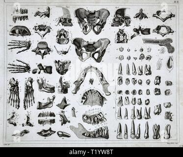 1849 Illustration médicale de l'anatomie humaine montrant le système squelettique Banque D'Images