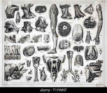 1849 Illustration médicale d'Anatomie Humaine Banque D'Images