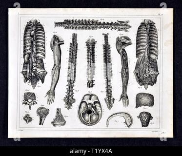 1849 L'anatomie humaine Imprimer montrant Appareil locomoteur y compris la moelle épinière, le thorax et le bras Banque D'Images