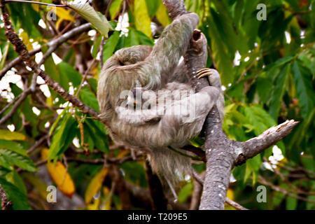 La mère et l'enfant paresseux dans les mangroves du Costa Rica Banque D'Images