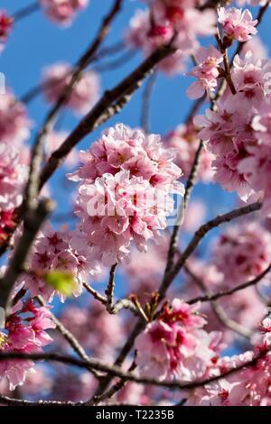 Cerisiers en fleurs sur fond de ciel bleu