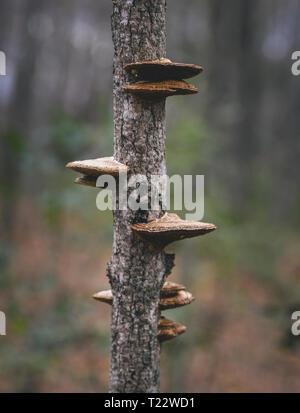 Close up de champignons poussant sur un tronc d'arbre
