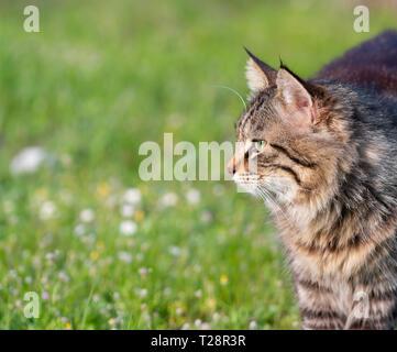 Longhair chat domestique sur l'herbe. Convient pour animal, animal de compagnie et la faune thèmes