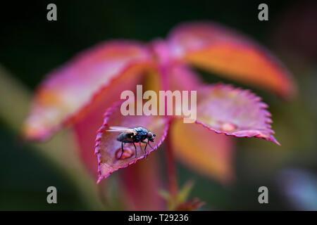 Fly assis sur le feuillage d'automne Banque D'Images