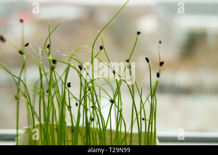 Les jeunes pousses de plantes à partir de graines germées, le concept de l'étape de culture de semences de plantes agricoles, l'arrière-plan flou, flou. Banque D'Images