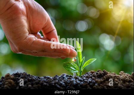 Dans les mains des arbres de semis. Bokeh fond vert femme hand holding arbre sur terrain herbe nature concept de conservation de la forêt Banque D'Images