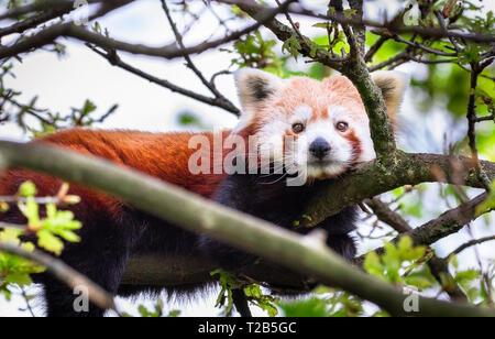 Un adulte le panda rouge (Ailurus fulgens) repose dans un arbre sur une journée ensoleillée. Banque D'Images