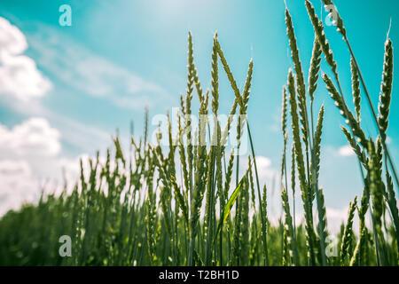 L'épeautre vert poussant en champ cultivé, low angle view de plantes contre blue ciel ensoleillé, selective focus Banque D'Images