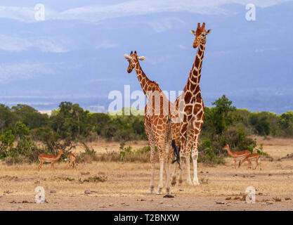 Deux girafes réticulés, Giraffa camelocardalis reticulata, mâles et femelles, se rencontrent. OL Pejeta Conservancy, Kenya. Animaux sauvages de safari africain