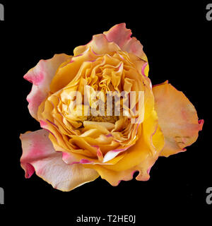 Fine art still life macro image colorée d'une seule rose rouge jaune orange isolé en fleur vintage style peinture surréaliste,fond noir Banque D'Images
