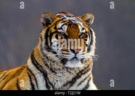 Tigre de Sibérie dans le parc de conservation du tigre dans la province de Heilongjiang, Hailin, nord-est de la Chine Banque D'Images