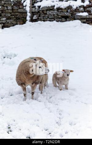"""La région de Teesdale, comté de Durham au Royaume-Uni. Mercredi 3 avril. Météo britannique. Beaucoup de neige est touchant certaines parties du comté de Durham. Ces chutes de neige à la fin du printemps sont souvent désignés par les agriculteurs comme """"orages d'agnelage"""" comme ces courtes forte de neige se produisent souvent lors de l'agnelage. En général, ces périodes de mauvais temps n'affectent pas les agneaux ou leurs mères, mais si elles durent plus de quelques jours, ils peuvent causer des problèmes si les agneaux ou les brebis sont enterrés. Crédit: David Forster/Alamy Live News Banque D'Images"""