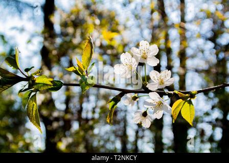 Les fleurs de cerisier, parc de Sceaux, France