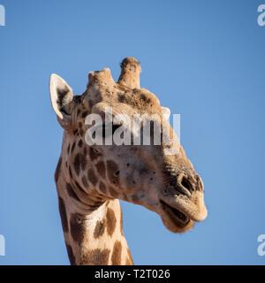 Portrait du visage gros plan d'une girafe dans le sud de la savane africaine Banque D'Images
