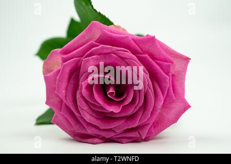Rose rose couchée sur le côté, isolé sur fond blanc Banque D'Images