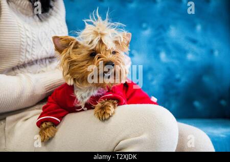 Un petit chien se trouve sur les mains de sa maîtresse. Une nouvelle année d'une séance photo de chien sur un canapé. Un peu gentil petit chien sur un canapé bleu avec des jouets de Noël un Banque D'Images