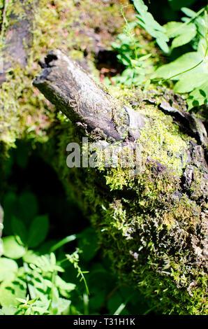 Couvert de mousse sur un sol forestier journal Banque D'Images