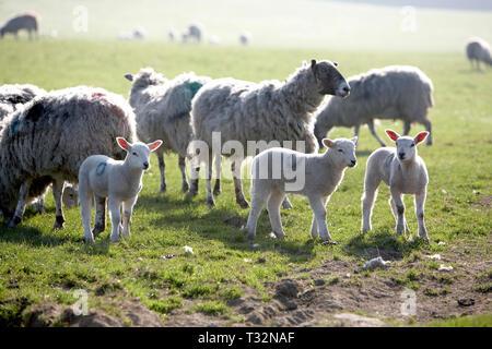 Agneaux dans domaine avec des moutons Banque D'Images