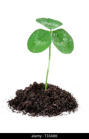 Clover printemps graines de germer dans le sol isolé sur blanc. Nouveau concept de vie Banque D'Images