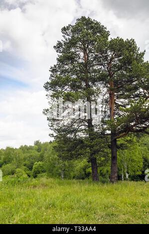 Un seul arbre de pin sur le pré vert à été dire nuageux Banque D'Images