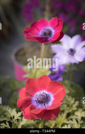 Jardin coloré Fleurs Close up shot macro photographie Banque D'Images