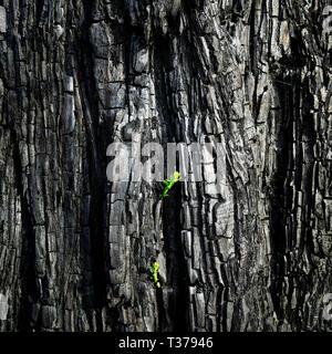 Les pousses vertes après un incendie de forêt dans la région de Tasman. Un pin montre la volonté de survivre. La Nouvelle-Zélande. Banque D'Images