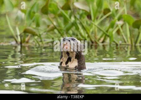 La loutre géante, Pteronura brasiliensis, fleuve Paraguay, Pantanal, Brésil