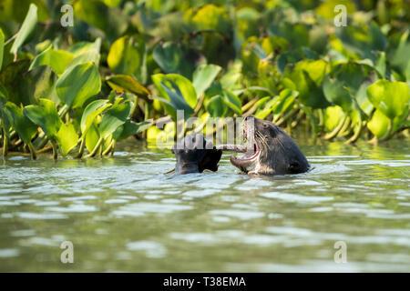 La loutre géante, manger du poisson du fleuve Paraguay, Pteronura brasiliensis, Pantanal, Brésil