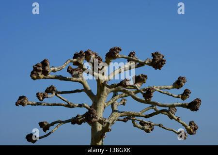 Platane à l'élagage des branches dans le début du printemps en face de azure sky, avion arbre avec branches dénudées après arbre coupé Banque D'Images