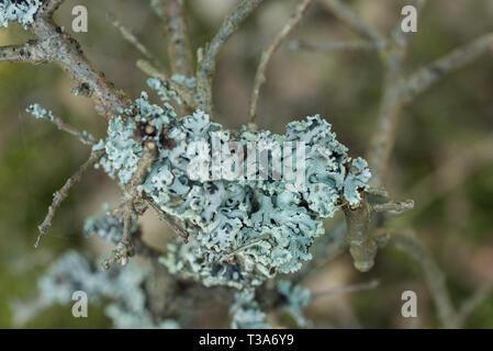 Hypogymnia physodes lichen sur tree twig macro Banque D'Images