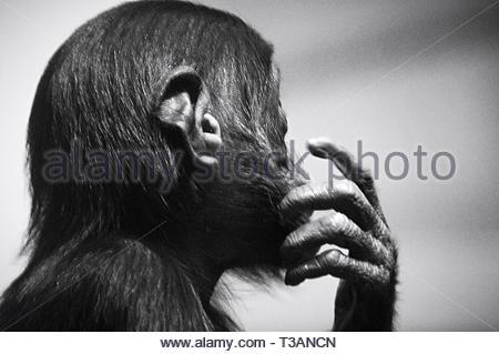 Photo d'un chimpanzé Banque D'Images