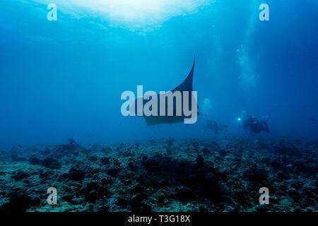 L'homme de l'appareil photo suit plongeur océanique géant manta (manta birostris). C'est une espèce de ray dans la famille Mobulidae, le plus grand du monde Banque D'Images