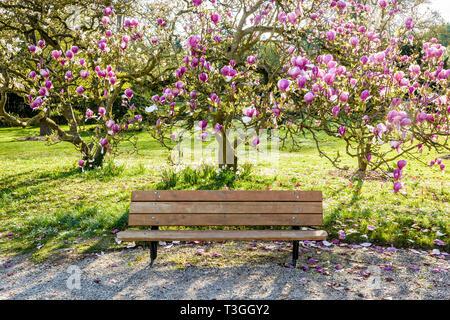 Un banc en bois dans le cadre d'un magnolia en fleurs dans un jardin public à la fin d'une journée de printemps ensoleillée.