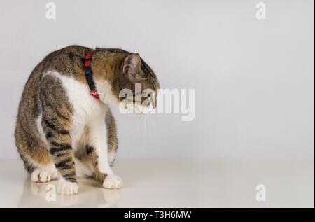 Portrait de peur chat mignon portant un collier rouge à côté sur fond de mur gris avec copie espace. Drôle de chaton en colère l'émotion.