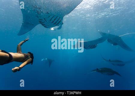 Free diver nage dans le cadre de l'école océanique géant manta, Manta birostris, Banque D'Images