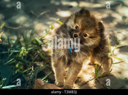 Chiot Pomeranian douce espiègle ressemble dans l'appareil. Banque D'Images