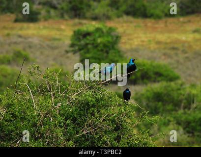 Notez les différentes poses en ces trois magnifiques sauvages Cape Glossy sur un buisson d'Étourneaux en Afrique du Sud. L'espace pour votre préférence de culture. Banque D'Images