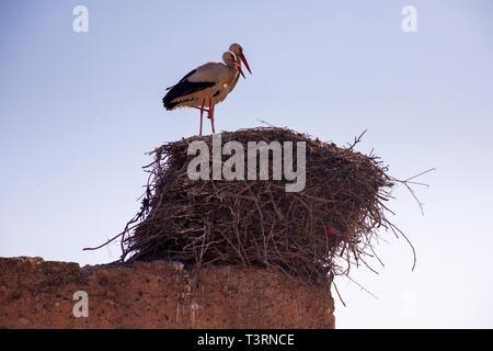 Paire de cigognes debout sur son nid contre un bleu ciel clair au petit matin. Banque D'Images